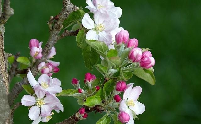 Pierwsze opryski drzew i krzewów trzeba wykonać już bardzo wczesną wiosną. Kolejne - w miarę rozwoju liści i pąków kwiatowych.