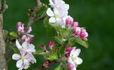 Wiosenne opryski drzew i krzewów owocowych. Terminy i preparaty na opryski