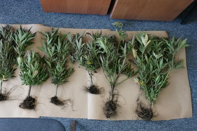 Za 20 roślin 24-latek może trafić do więzienia