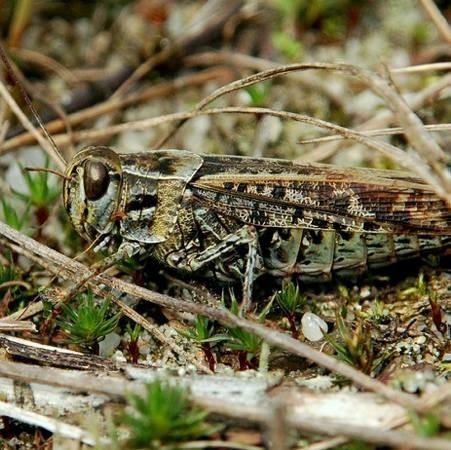 Nadobnik włoski, żyjacy w Łagowskim Parku Krajobrazowym w Czerwonej Księdze Gatunków Zagrożonych ma kategorę CR, co oznacza krytycznie zagrożony.