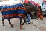Koń galopował po ulicy - zatrzymała go... drogówka