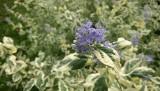 Barbula klandońska - krzew, który kwitnie późnym latem. Jak uprawiać i pielęgnować barbulę