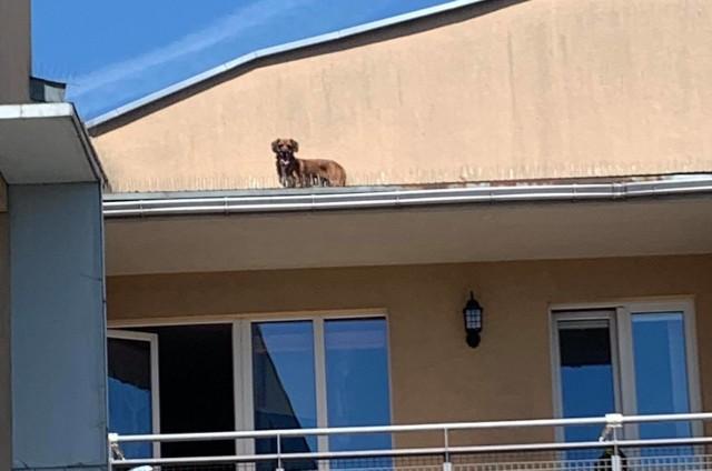 To historia psa na gigancie! Czworonóg postanowił opuścić taras, na którym się wygrzewał i zrobić sobie wycieczkę po mieście. Na Poznań chciał jednak spojrzeć z góry i z tarasu przeskoczył na... dach sąsiedniego budynku.Zobacz więcej zdjęć ---->