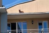 Pies uciekł z domu i wszedł na dach budynku na poznańskich Jeżycach. Ratowały go cztery zastępy strażaków!