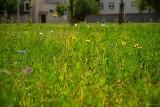 Eden city. Studenci z Koła Naukowego Biologów UwB zbadają kwietne łąki
