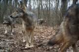 """Protestują przeciwko odstrzałowi wilków w gminie Swarzędz. """"Nie można ulegać presji myśliwskiemu lobby. Wilki nie stanowią zagrożenia"""""""