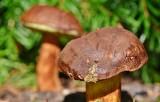 Sprawdzone przepisy na grzyby. Proste przepisy na grzyby: marynowane, smażone, solone, kiszone! Jak smażyć kurki? 15.10.2021