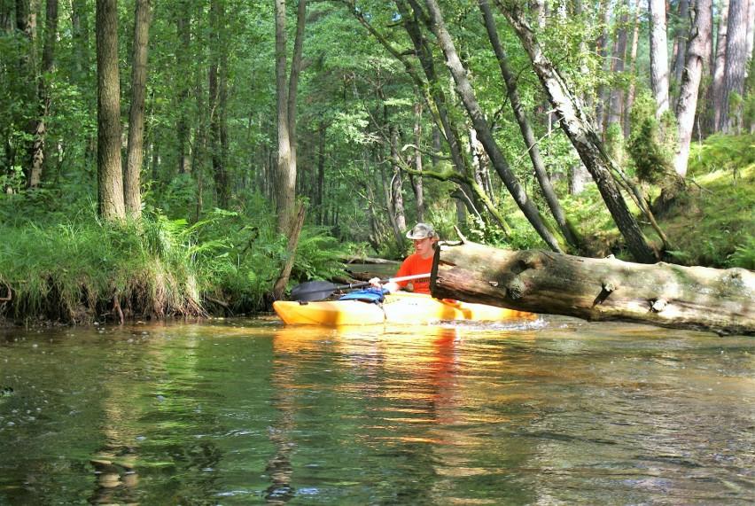 W górnym odcinku Wdy między Lipuszem a Loryńcem przepływa się przez lasy. Czasem w rzece leżą drzewa