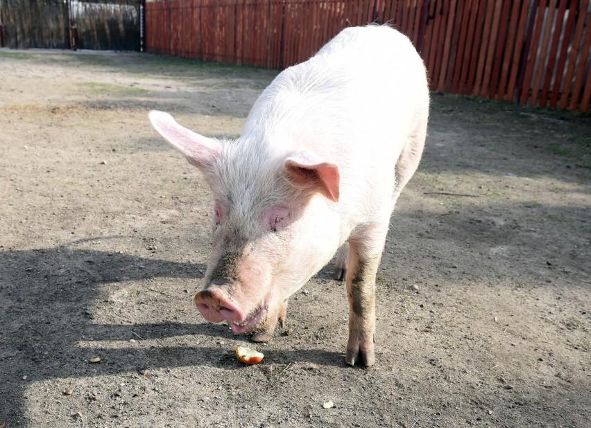 """Znasz powiedzenie """"pocić się jak świnia""""? Jest ono..."""