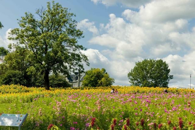 Łąka kwietna i pole słoneczników w Białymstoku. Podobne plantacje - na mniejszą skalę - mają się pojawić w różnych punktach Opola.
