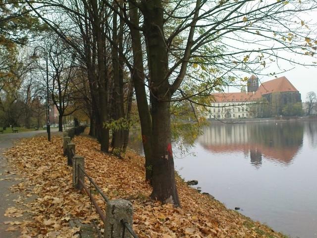 Wrocław, ponad 100 drzew zostanie wyciętych na bulwarze Dunikowskiego