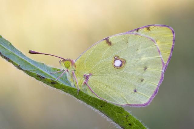 Niektórzy nazywają motyla listkowcem. To od kształtu