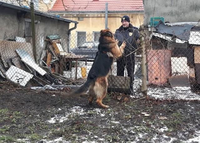We wtorek, 29 stycznia, straż miejska dostała dramatycznie brzmiące zgłoszenie o dużym psie, który miał wisieć na ogrodzeniu domu przy ul. Jaskółczej. Zwierzę miało być do tego agresywne. Strażnicy natychmiast pojechali na ul. Jaskółczą. Tam potwierdzili zgłoszenie. Zobaczyli owczarka niemieckiego, który zahaczony na lince wisiał na płocie.Okazało się, że pies był przywiązany liną do drzewa przy swojej budzie. Lina była na tyle długa, że zwierzęciu udało się przeskoczyć przez siatkę. Zaplątana na ogrodzeniu lina sprawiła, że pies zawisł na płocie.Strażnikom miejskim udało się szybko oswobodzić psa z uwięzi. Zwierzę nie było agresywne. Agresja, o której mówili mieszkańcy spowodowana była jedynie lękiem przed uwięzieniem na płocie. Po uwolnieniu zwierzę było przyjazne i łagodne.Właściciela psa nie było w domu. Odprowadzenie psa na posesję nie dawało gwarancji pozostawienia go w bezpiecznych dla niego warunkach, dlatego strażnicy zdecydowali o przekazaniu go do schroniska dla bezdomnych zwierząt.Właściciel zwierzęcia poza kosztami związanymi z pobytem psa w schronisku musi liczyć się również z konsekwencjami prawnymi dotyczącymi zaniedbania i trzymana psa w niewłaściwych warunkach.Zobacz też wideo: Śmiertelny wypadek na drodze krajowej nr 31. Nie żyją dwie osoby