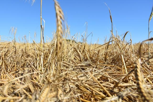 Takiego zboża zebrać się nie da. Przez nasz region przechodziły lokalne nawałnice, które zniszczyły część zbóż. To okolice Jeżewa