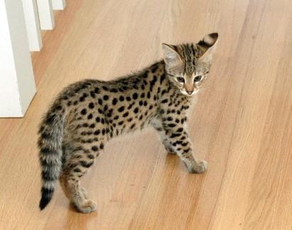 Modish Kot Savannah - mieszanka kota domowego i serwala afrykańskiego BM66