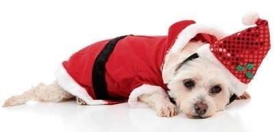 Nie zdajemy sobie najczęściej sprawy, że psy wysyłają do nas wiele sygnałów, np. o swym samopoczuciu w czasie świąt. Nie zawsze są nimi zachwycone tak jak my... FOT. 123RF