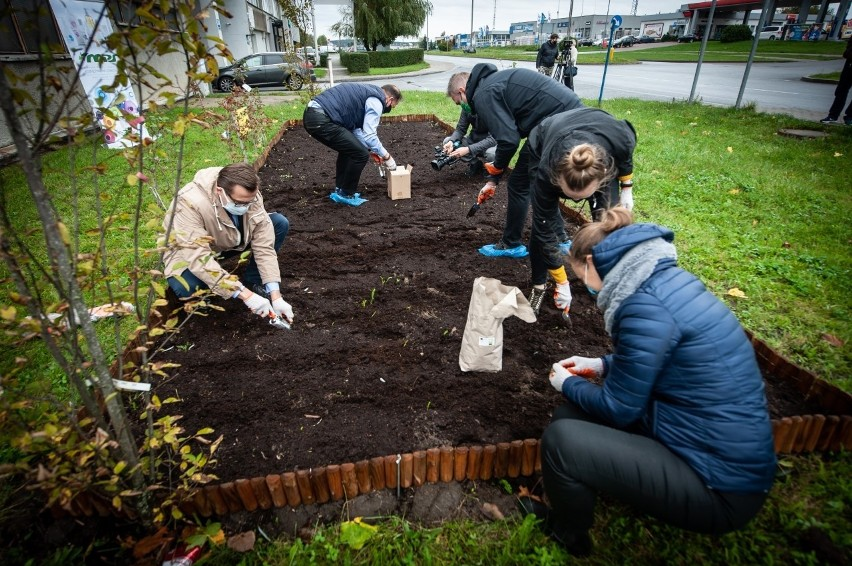 Rok temu żonkile na Polu Nadziei przed MPS International w Koszalinie sadzili wolontariusze W tym roku rękawy zakasali pracownicy firmy i członkowie zarządu. Oni też do wiosny dbać będą o rośliny.