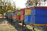 Pszczoły zbierają więcej miodu, sezon jest lepszy od poprzedniego. Ale import zabija smak radości