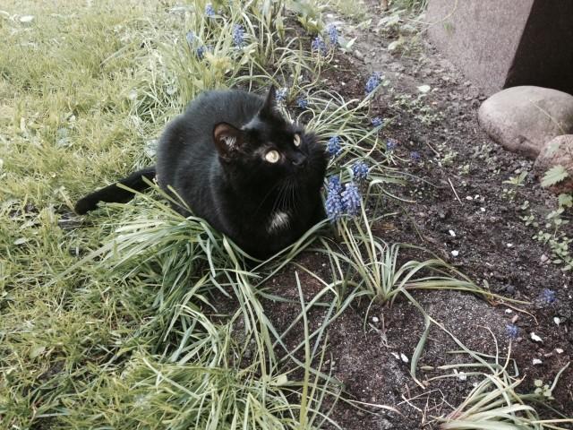 Czarna kotka z białym krawatem poszukiwana. Zaginęła przy Ciołkowskiego w Białymstoku