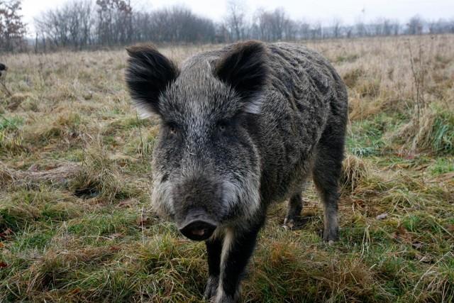W miejscu, gdzie został znaleziony na początku grudnia martwy dzik zarażony wirusem afrykańskiego pomoru świń, natknięto się na małą watahę padłych dzików.