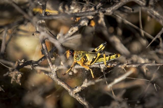 Młody owad w Puntland - nimfa - jeszcze bez wykształtowanych skrzydeł. Za około trzy tygodnie miliony tych świerszczy wykształtują skrzydła i będą mogły się przemieszczać