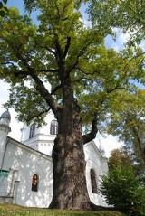 """Dąb """"Poganin"""" - największe drzewo na Podkarpaciu"""