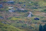 """Tatry. Niedźwiedzie jedzą na potęgę. """"To dla nich czas absolutnego obżarstwa"""" - mówi przyrodnik [ZDJĘCIA, WIDEO]"""