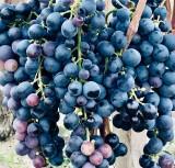 Podkarpacie jest coraz atrakcyjniejszym kierunkiem dla turystyki winiarskiej