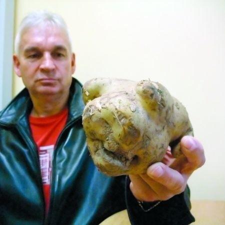 Pan Mikołaj Nos przyniósł do nas ciekawy okaz ziemniaka: - Tutaj ma jakby oczy, nieforemne nogi, tutaj buzię, a tutaj ogonek!