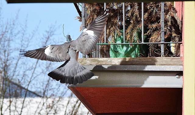 Gołąb miejski buduje gniazdo na balkonie na jednym z osiedli w Zielonej Górze.
