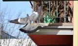 Zielona Góra. Gołąb grzywacz czuje się u nas dobrze i chętnie buduje gniazdo na... balkonie. A potem ma małe
