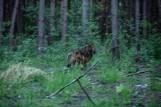 Uratowany wilk z Machowej po trzech miesiącach rekonwalescencji wrócił na łono natury
