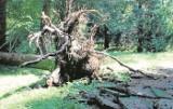 Drzewa nadal leżą w parkach i w miejskich lasach