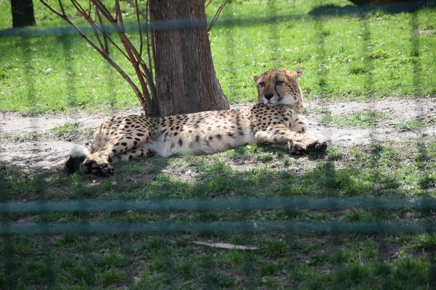 W Śląskim Ogrodzie Zoologicznym urodziły się gepardy. Są...