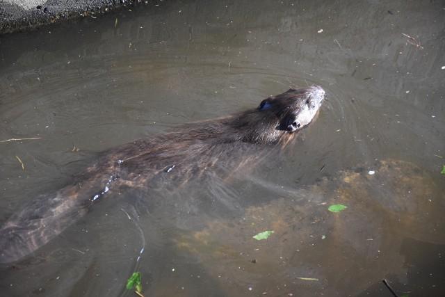 W pobliżu filaru mostu nad Kanałem Ulgi pływało pięć bobrów.