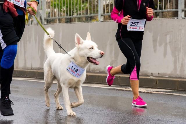 Psy dla biegaczy. Poznaj najlepsze rasy psów dla biegaczy. Te psy kochają sport! >>>