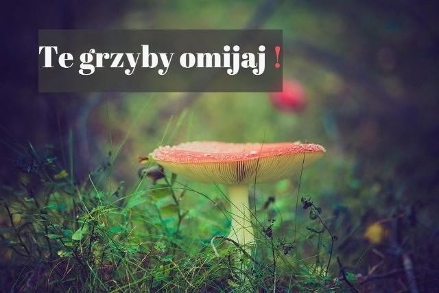 Niefrasobliwe zbieranie grzybów możesz przypłacić zdrowiem, a nawet życiem. A niestety, w lasach i na polanach wciąż słychać mity. Przykłady, których nie należy powielać?Wielu grzybiarzy sprawdza, czy podejrzany grzyb faktycznie może wylądować na talerzu, dotykając językiem jego spodu. Fatalny pomysł, podkreslają fachowcy. - Nieprawda, że wszystkie grzyby trujące mają ostry smak, wskazują lekarze Porozumienia Pracodawców Ochrony Zdrowia. Dotyczy to m.in. muchomora sromotnikowego i wiosennego, które mają przyjemny i słodkawy smak.Obalamy kolejne mity - trujące grzyby po posoleniu żółkną. Zmiana koloru wcale nie jest powodowana przez trujące związki! Zabarwienie cebuli podczas gotowania, kolejna błędna metoda rozpoznawania gatunków trujących. Cebula ciemnieje pod wpływem naturalnego składnika, który znajduje się w tym warzywie.Między bajki można też włożyć metodę srebrnej łyżeczki, która - w towarzystwie grzybów trujących - ciemnieje. Związane jest to z obecnością związków siarki (z reguły nie są trujące).KOLEJNE INFORMACJE O TRUJĄCYCH GRZYBACH I BEZPIECZNYM GRZYBOBRANIU NA NASTĘPNYCH STRONACHO czym należy pamiętać idąc na grzyby?Źródło: Agencja TVN, dostawca: x-news