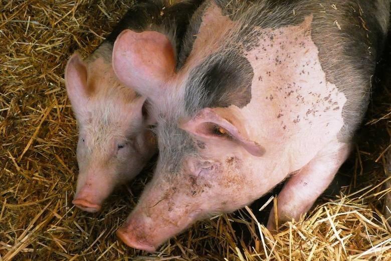 Mieszkańcy Nakli nie chcą we wsi świniarni.