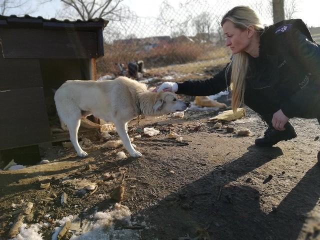 """O bulwersującej sprawie poinformował OTOZ Animals - Inspektorat Zielona Góra na swoim profilu na Facebooku. Śnieżyczneczka, bo tak ją nazwali wolontariusze, była wystraszona i smutna. Bała się ludzi po tym, co ją spotkało. A wielkiej krzywdy doznała w jednym z domów w Bodzowie koło Nowej Soli. W miejscu, w którym była praktycznie od zawsze...Wolontariusze udali się na miejsce. Dopytywali właścicieli, co się stało, że Śnieżyczneczka tak się zachowuje. Mężczyzna wszystko wyjaśnił... Opowiedział, że dostała pasem za to, że """"dopadła kurę"""". Inspektorzy OTOZ szybko zorientowali się też, że Śnieżyczeczka urodziła szczenięta. Zapytali więc, co się z nimi dzieje, gdzie są. - Wyciągnąłem je rano z budy i wyrzuciłem w pole - wyjaśnił 14-letni zwyrodnialec. Chłopak nie chciał współpracować z OTOZ Animals i wskazać, gdzie dokładnie wyrzucił pieski. - Cały czas podczas trwania czynności interwencyjnych był w świetnych humorze, śmiał się, żartował i kpił z całej sytuacji - opisują zdarzenie inspektorzy. Policja zatrzymała ojca i synaO sprawie zostali poinformowani policjanci. Pomimo prób odnalezienia szczeniąt, inspektorzy i policjanci zdołali uratować tylko Śnieżyneczkę, którą przewieźli na obserwację do gabinetu weterynaryjnego. Na miejscu stwierdzono, że suczka miała więcej szczeniąt niż dwa...- Policjanci udali się na miejsce, ponieważ zostali poinformowani, że na jednej z posesji w gminie Bytom Odrzański właściciel znęcał się nad suczką rasy podobnej do labradora. Istnieje też podjerzenie, że 15-latek zabił jej szczenięta. Nastolatek nie przyznaje się do winy. Sprawa zostanie skierowana do sądu rodzinnego. Obecnie policjanci przeprowadzają niezbędne czynności, by ustalić przebieg zdarzeń. Właścicielowi posesji nie postawiono na razie żadnych zarzutów. Więcej w tej sprawie nie możemy powiedzieć - informuje st. sierż. Justyna Sęczkowska z nowoslskiej policji.Inspektorzy podejrzewają, że zostały one zakopane lub zatopione. Obecnie działania policji skupiają się na tym, by stwier"""