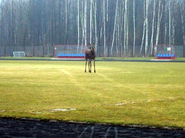 Łoś odwiedził niespodziewanie boisko OKF