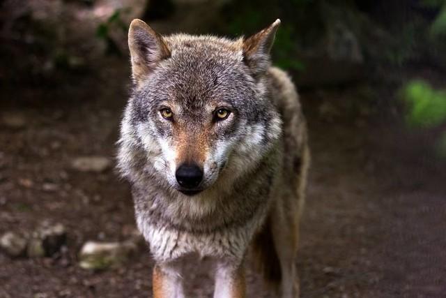 Podejmowane działania chronić mają gatunek wilków. Zwierzęta te są w Polsce pod ochroną