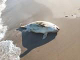 Między Dębiną a Rowami morze wyrzuciło na brzeg martwego morświna [zdjęcia]