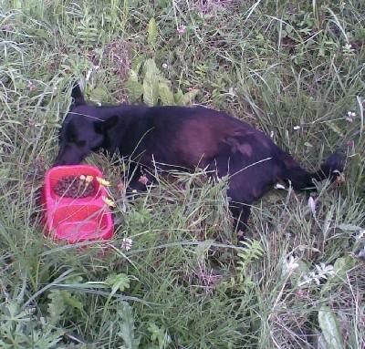 To zdjęcie zrobione przez naszego Czytelnika. Zrobił je we wtorek rano. Ranny pies leży w rowie przy ścieżce rowerowej obok ogródków działkowych u zbiegu ulic Tuwima i Warszawskiej.