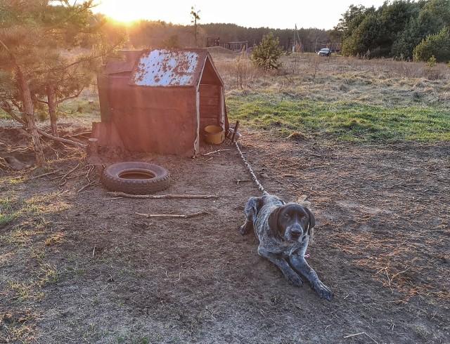 Psy trzymane na łańcuchu nadal niestety nie są w Polsce rzadkością