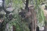 Nie gaśnie zainteresowanie pumą z Jury. Nubia wciąż przebywa w Śląskim Ogrodzie Zoologocznym. Dlaczego na jej wybiegu pojawiły się deski?