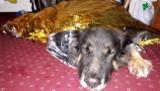 Szczyrk: Ratownicy GOPR uratowali w górach psa! Zwierzę zasłabło w masywie Skrzycznego ZDJĘCIA