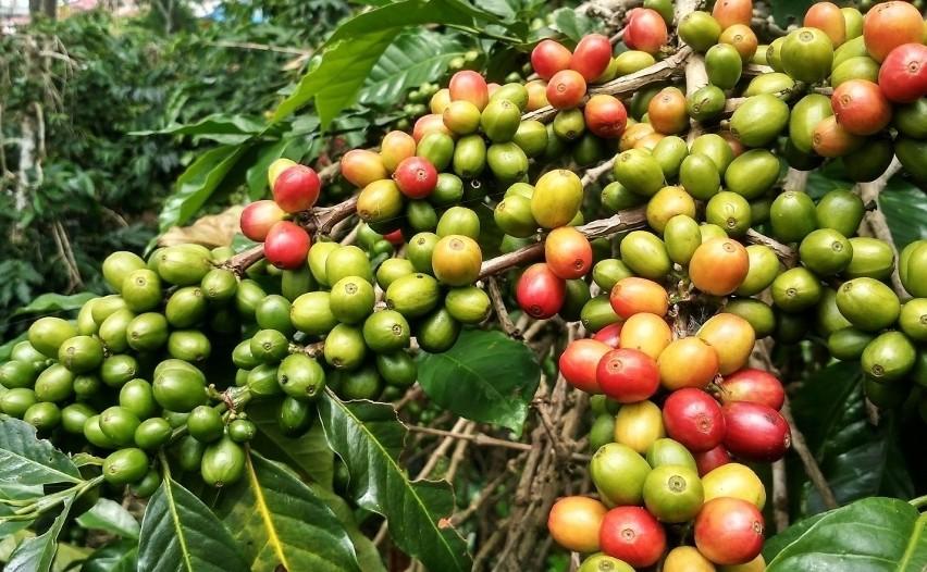 Kawa Prosto Z Doniczki Sprawdź Jak Uprawiać Kawę W Domu