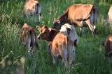 Ceny w górę. Ile hodowca zarobił na mleku?