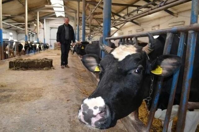 Zbigniew Piwek w nowoczesnej oborze oprócz dwudziestu dwóch krów mlecznych ma też kilka dorodnych buhajów