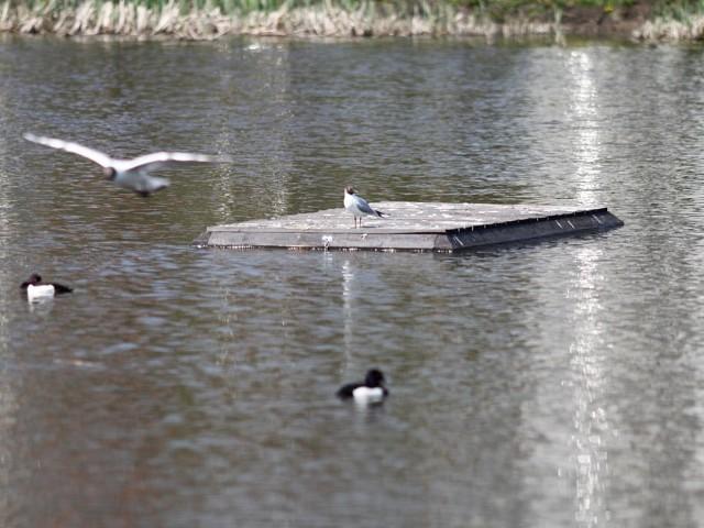 Ptaki chętnie odpoczywają na specjalnych platformach umieszczonych na środku stawów. Tu nikt ich nie płoszy.
